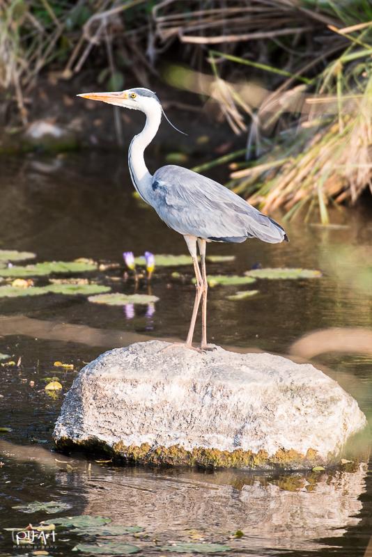 Fischreiher im Krüger Nationalpark aufgenommen auf einer Fotosafari mit PilArt Fotoreisen