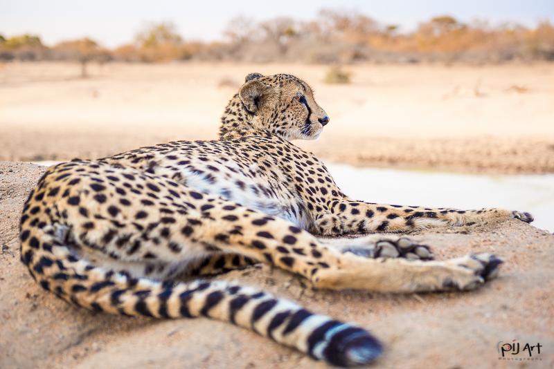 Gepard im Krüger Nationalpark aufgenommen auf einer Fotosafari mit PilArt Fotoreisen