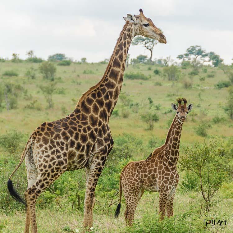 Giraffe im Krüger Nationalpark. Aufgenommen während unserer letzten Fotosafari