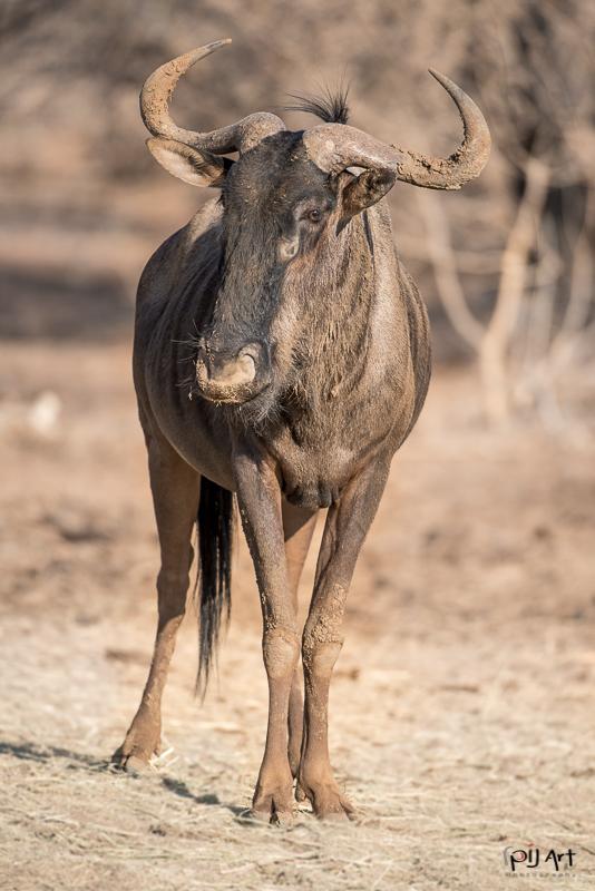 Gnu im Krüger Nationalpark aufgenommen auf einer Fotosafari mit PilArt Fotoreisen