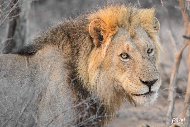 Löwe im Krüger Nationalpark aufgenommen auf einer Fotosafari mit PilArt Fotoreisen