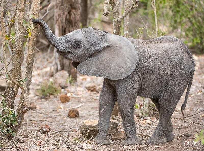 Elefantenbaby beim Fressen Fotosafari Krüger Nationalpark Südafrika mit PilArt Fotografie