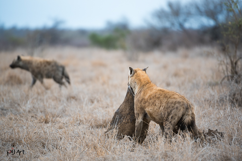 Hyänen mit Beute Fotosafari Krüger Nationalpark Südafrika mit PilArt Fotografie