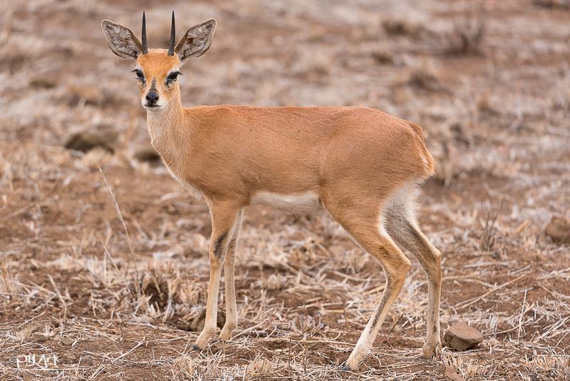 Steinböckchen Fotosafari Krüger Nationalpark Südafrika mit PilArt Fotografie