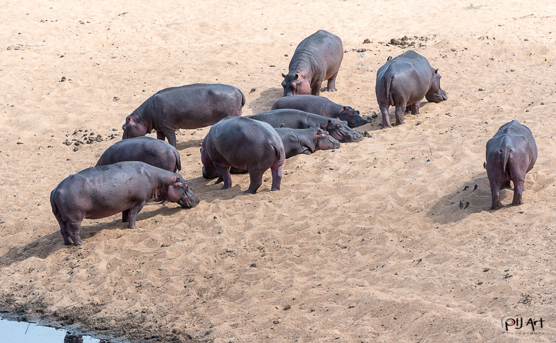 Nilpferd Herde an Land Fotosafari Krüger Nationalpark Südafrika mit PilArt Fotografie