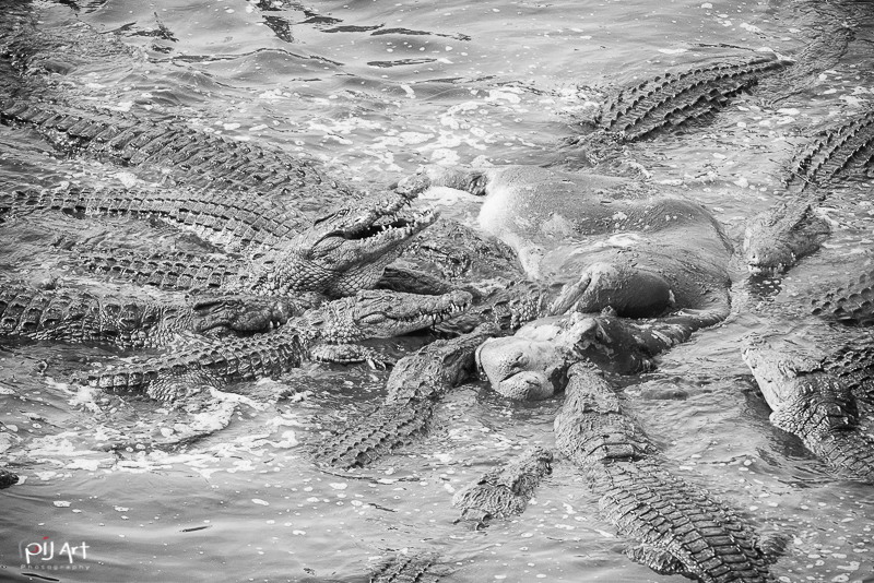 Krokodile fressen Nilpferd Fotosafari Krüger Nationalpark Südafrika mit PilArt Fotografie