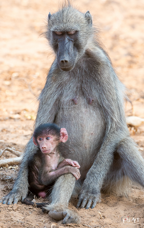 Pavian mit Baby Fotosafari Krüger Nationalpark Südafrika mit PilArt Fotografie