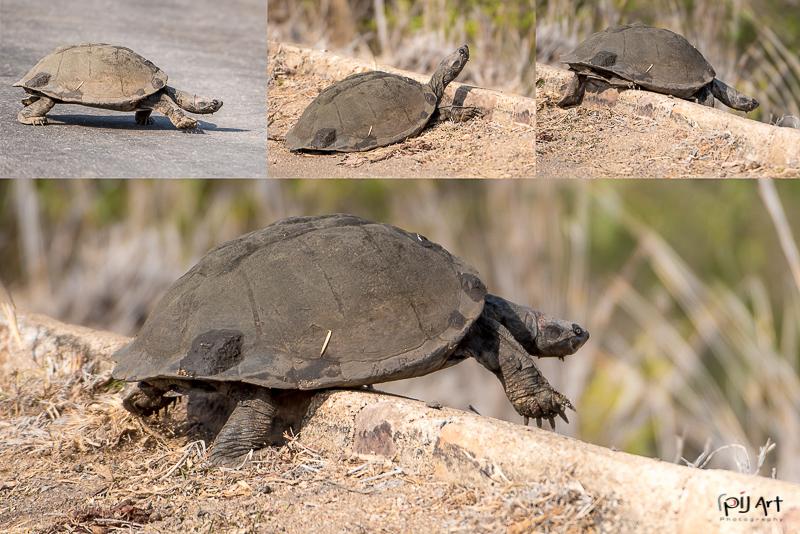 Schildkröte im Krüger Nationalpark aufgenommen auf einer Fotosafari mit PilArt Fotoreisen