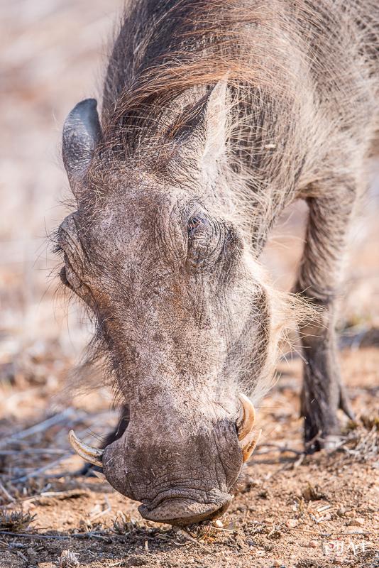 Warzenschwein im Krüger Nationalpark aufgenommen auf einer Fotosafari mit PilArt Fotoreisen
