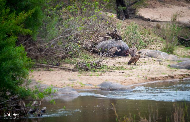 Geier fresen von totem Nilpferd am Ufer im Kruger Afrika, Privatsafari