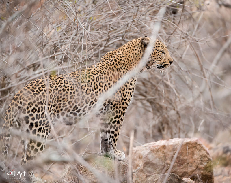 Leopard im Busch mit tropfendem Speichel im afrikanischen Busch Fotosafari Privatsafari Kruger PilArt
