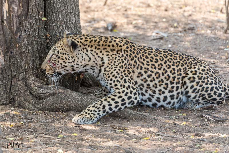 Leopard auf der Pirsch versteckt hinter einem Baum bereit zum Angriff Fotosafari Privatsafari Kruger