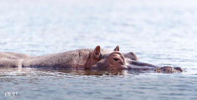Auf Augenhöhe mit einem Nilpferd im Wasser in Südafrika auf Fotosafari Privatsafari mit PilArt