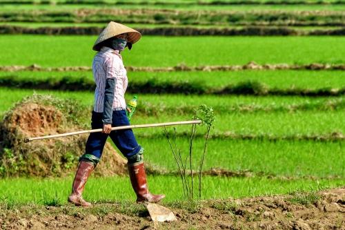 Vietnam Female Rice Farmer Walking
