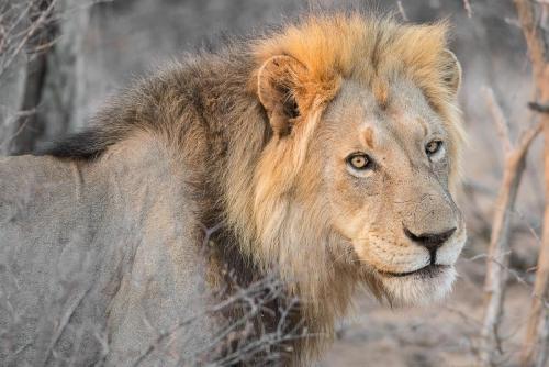 South Africa Kruger National Park Lion