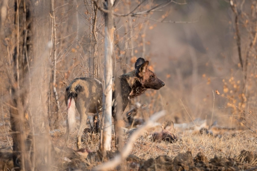 South Africa Kruger National Park Wild Dog