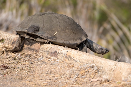 South Africa Kruger National Park Turtle