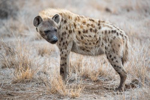 South Africa Kruger National Park Hyena
