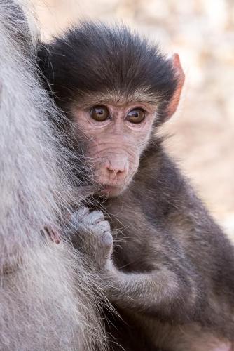 South Africa Kruger National Park Baboon
